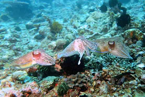 Cuttle Fish Padang Bai Bali